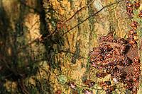 The entrance to the nest of the Scaptotrigona panemensis bee.///L'entré du nid de l'Scaptotrigona panemensis.