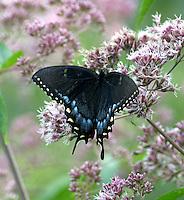 Female tiger swallowtail (dark form) on Joe Pye weed