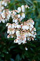 White, bell-shaped flowers of the evergreen shrub Pieris japonica 'Prelude', late February.