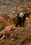 A MAN IN TWEED CAP DIGS AWAY AT A BURROUGH IN THE GROUND. A DEAD FOX LIES BLEEDING NEXT TO THE HOLE.,