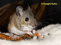 MU59-526z  Deer Mouse on Pumpkin, Pumpkin decomposing from molds, Peromyscus maniculatus