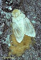 GY03-002c  Gypsy Moth - female laying eggs -  Lymantria dispar