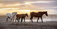The long walk to water. Wild horses of the Onaqui herd. West Desert, Utah. October