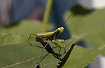 A praying mantis in a Gardnerville, Nev. garden, on August 11, 2020. <br /> Photo by Cathleen Allison