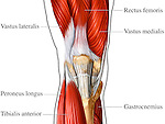 This anatomical exhibit pictures the primary superficial muscles of the right knee from an anterior (front) view. This single image shows the region from the distal third of the femur, through the patella, past the knee joint down to the proximal third of the tibia and fibula. Labels identify the rectus femoris muscle, vastus lateralis muscle, vastus medialis muscle, peroneus longus muscle, tibialis anterior muscle and the gastrocnemius muscle.