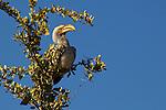 Calao leucomèle, Southern Yellow-billed Hornbill, (Tockus leucomelas)