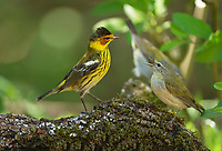 Cape May Warbler (Dendroica tigrina), male and Tennessee Warbler (Vermivora peregrina), South Padre Island, Texas, USA