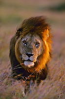 African lion (Panthera leo) male walking on savanna near sundown, Masai Mara National Reserve, Kenya.