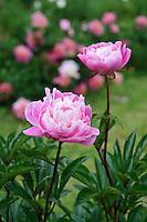 Paeonia 'Suzette' (Peony)