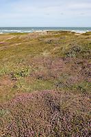 Blick über Dünen auf die Nordsee, Dünenlandschaft, Dünen-Landschaft, Braundüne, Braun-Düne, Düne, bewachsen u.a. mit Heidekraut, Besenheide, Calluna vulgaris, Ling, Scots Heather, Dänemark, Küste