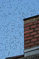 Honigbiene, Honig-Biene, Honigbienen beim Schwärmen aus ihrem Bienenstock in einem stillgelegten Schornstein, Bienen-Schwarm, Bienenschwarm, Biene, Bienen, Apis mellifera, honey bee, hive bee