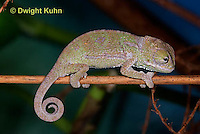 CH47-527z  Veiled Chameleon several day old young, Chamaeleo calyptratus