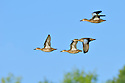 00315-06205 Blue-winged Teal flock of in flight against blue sky and green trees in early fall.  Hunt, waterfowl..