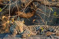 African Sleeping leopard (Panthera pardus pardus), Savute, Chobe National Park, Botswana, Africa