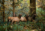 A small group of Roosevelt Elk stands alertly in the Hoh Rainforest, Olympic National Park, Washington.