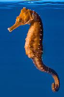 seahorse, Hippocampus , raised in captivity at Ocean Rider for the aquarium trade to offset devastating wild caught seahorse trade (c) (dm)