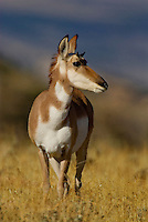 Pronghorn (Antilocapra americana) doe, Western U.S., fall.