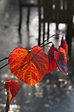 Cercis canadensis 'Forest Pansy, late October.