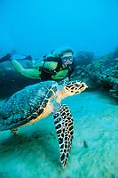 diver and hawksbill sea turtle, Eretmochelys imbricata, Florida, Atlantic Ocean