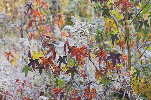 American Sweetgum (Liquidambar styraciflua), leaves frost covered, Lillington, North Carolina, USA