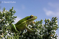 0605-0916  American Green Treefrog Climbing Tree at Outer Banks North Carolina, Hyla cinerea  © David Kuhn/Dwight Kuhn Photography