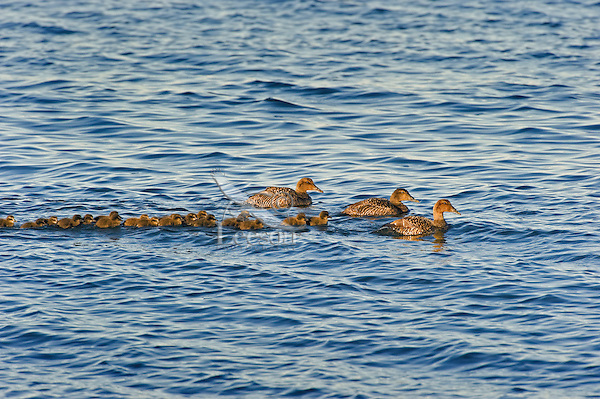 """Common Eider southern race (Somateria mollissima dresseri) hens with young and """"aunts"""" (nonbreeding females who travel with ducklings and their moms to help protect from predators) gather in small flocks to sleep and feed along the Atlantic Ocean shoreline in late spring near Halifax, Nova Scotia, Canada."""