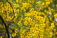 Parkinsidium 'Desert Museum' (syn. Parkinsonia or Cercidium 'Desert Museum'), yellow flowers of hybrid Palo Verde tree; Tree of Life Nursery