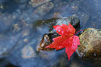 A red autumn maple leaf gets caught against a rock in the Saco River in Bartlett, New Hampshire.