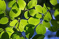 Buche, Rot-Buche, Rotbuche, Fagus sylvatica, Blätter, Blatt, Blätterdach, Blattwerk, Buchenblatt, Buchenblätter, Common Beech, Beech, leaf, leaves