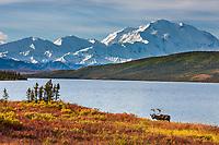 Bull caribou in autumn tundra along the shore of Wonder Lake, mt Denali of the Alaska Range mountains, Denali National Park, Interior, Alaska.