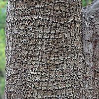 Woodpecker Tree Damage - Small Holes drilled in Pear Tree Bark by Yellow-Bellied Sapsucker (Sphyrapicus varius), Saltspring (Salt Spring) Island, BC, British Columbia, Canada, Summer
