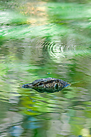 Swimming Water Monitor Lizard in a Jungle pond Palawan Philippines
