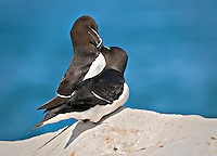 Pair of RazorBills exhibiting courting behavior on rocks by the ocean