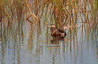 Pied-Billed Grebe swimming in a circle with wings aloft