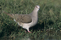 White-tipped Dove, Leptotila verreauxi,adult, Starr County, Rio Grande Valley, Texas, USA, May 2002