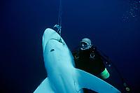 Diver examines Oceanic Blacktip Shark, Carcharhinus limbatus, hooked on long-line, Cocos Island, 320 miles off Costa Rica - Pacific Ocean