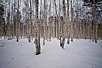 Birch trees in the Taiga forest, near Lake Baikal.