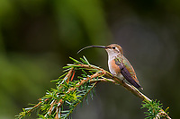 Immature Rufous Hummingbird (Selasphorus rufus) sitting on hemlock tree with tongue out, Pacific Northwest.  Summer.