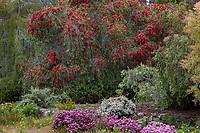 Callistemon 'King's Park Special' Bottlebrush Australian small tree flowering in UC Santa Cruz Arboretum and Botanic Garden