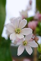 Clematis Armandii 'Apple Blossom'