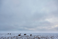 A herd of muskox on the snow covered tundra in Alaska's Arctic North Slope.