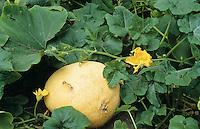 Kürbis, Garten-Kürbis, Kürbiss, Gartenkürbis, Feldkürbis, Cucurbita pepo, Cucurbita esculenta, Pumpkin