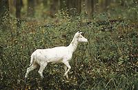 Damhirsch, Dam-Hirsch, Damwild, weißes Weibchen, Kuh, Dam-Wild, Cervus dama, Dama dama, fallow deer