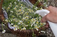 Kräuterernte besprühen, um sie länger frisch zu halten. Geerntete Kräuter in einem Korb werden mit Wassersprüher befeuchtet. Echte Kamille, Matricaria recutita, Chamomilla recutita, Matricaria chamomilla, German Chamomile, wild chamomile, scented mayweed, La Camomille sauvage, Matricaire camomille, Petite Camomille