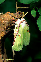 LE08-038a  Luna Moth - adult just emerged from cocoon, inflating wings  - Actias luna