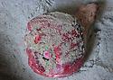 01/12/14 - AURILLAC - CANTAL - FRANCE - Entreprise Cantal Salaisons. Salage manuel d un jambon frais - Photo Jerome CHABANNE