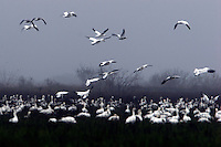Flock of lesser snow geese gathering to feed on a foggy morning