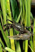 1Y43-008d  Marsh Fiddler Crab - Uca virens