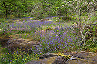 Rock outcrop in wildflower meadow - Camassia Nature Preserve, The Nature Conservancy protected park, Portland Oregon