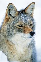 Coyote in deep snow.  Western U.S., winter.